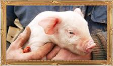 SPF豚のQ&A