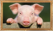 豚のトリビア